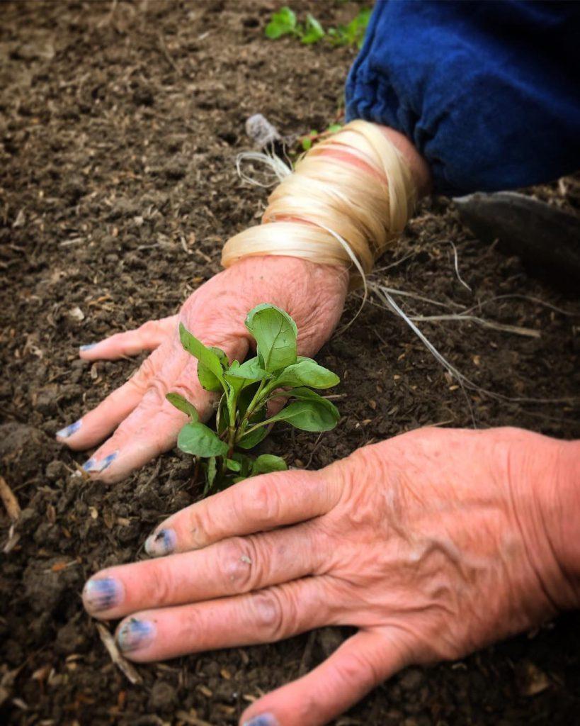 indigo seeding& planting🌱